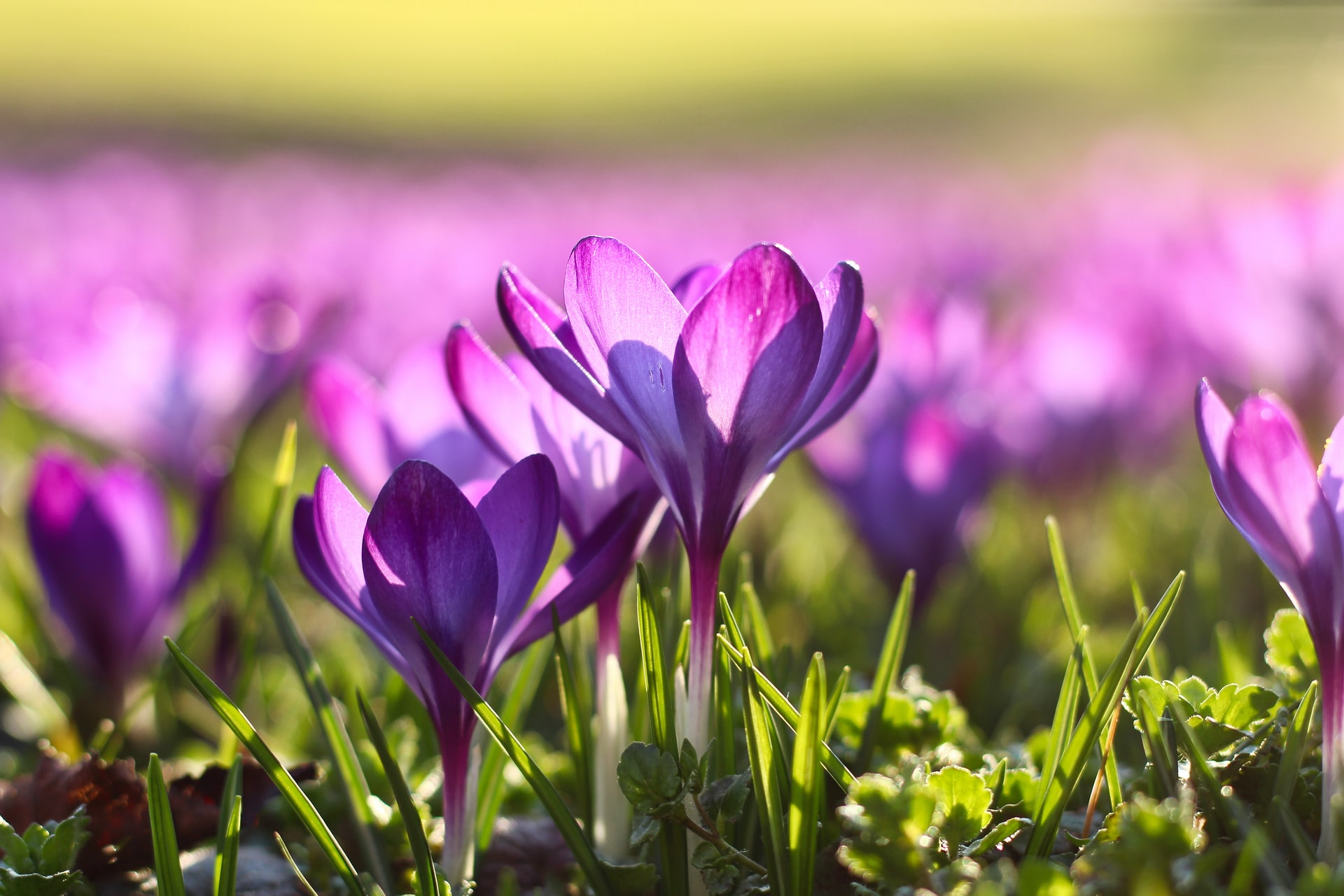 Möt våren krokus